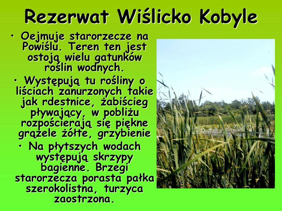 Rezerwat Wiślicko Kobyle Oejmuje starorzecze na Powiślu. Teren ten jest ostoją wielu gatunków roślin wodnych.Oejmuje starorzecze na Powiślu. Teren ten