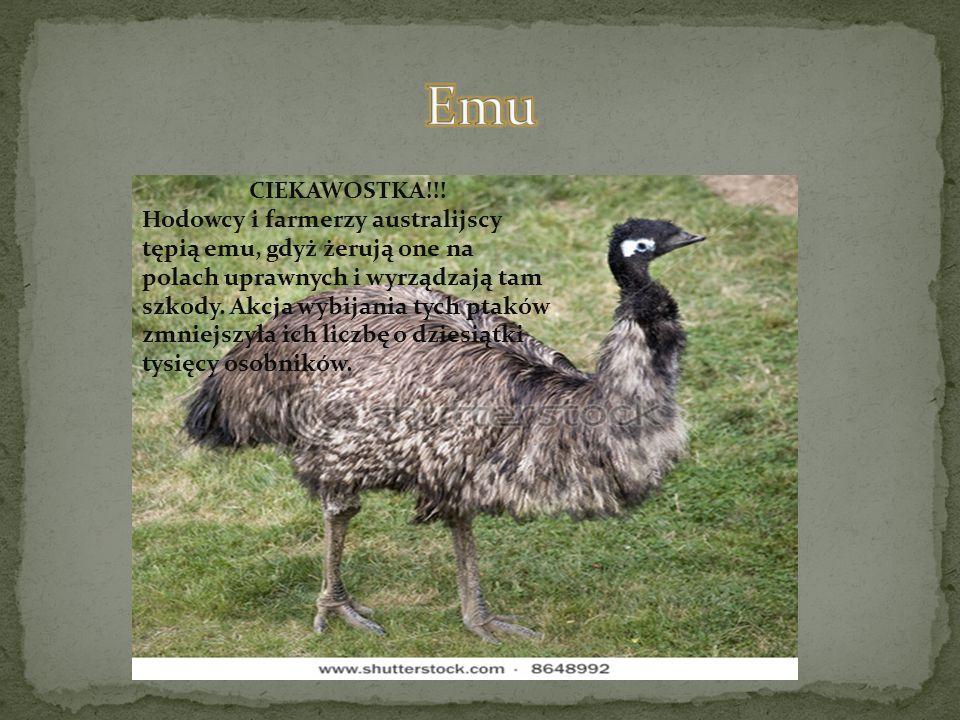 CIEKAWOSTKA!!! Hodowcy i farmerzy australijscy tępią emu, gdyż żerują one na polach uprawnych i wyrządzają tam szkody. Akcja wybijania tych ptaków zmn