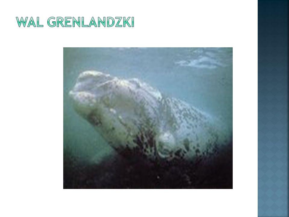 Inaczej nazywany wielorybem północy.Osiąga długość ponad 20 metrów.