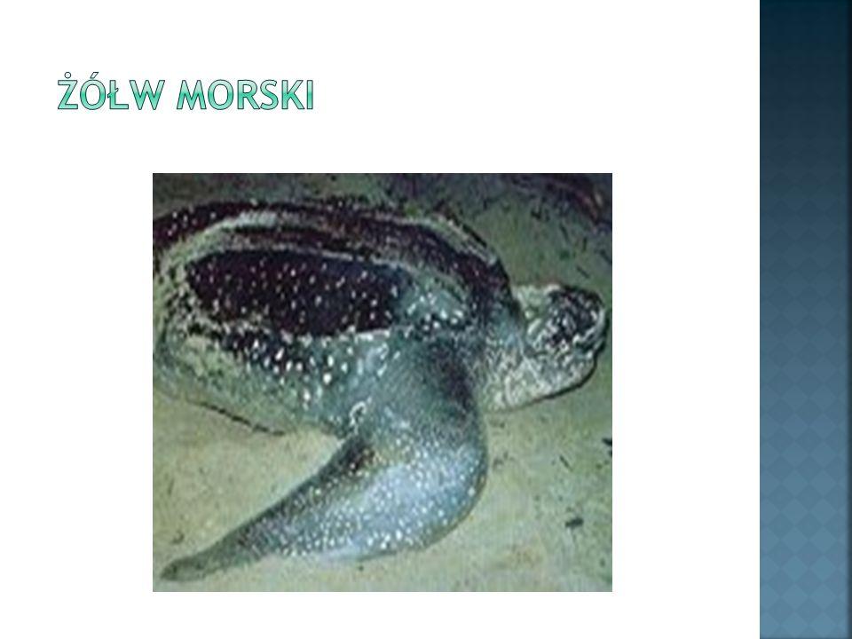 Największy z żółwi.Długość może osiągać 2 metry, ciężar 500 kg.