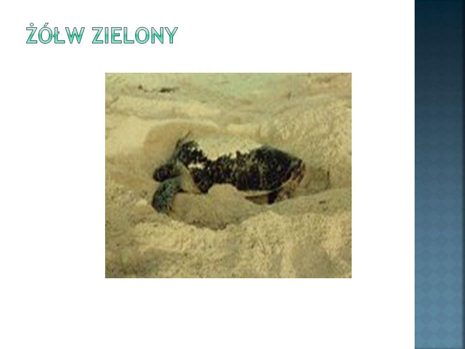 Ten morski żółw, który jest przedmiotem częstych polowań ze względu na smaczne mięso, zaliczany jest do gatunku zagrożonego.