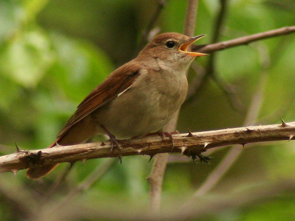 Zamieszkuje w parkach, ogrodach, na łąkach, polach oraz w zaroślach nad wodami. Odżywia się owadami. Charakteryzuje się bardzo melodyjnym śpiewem.