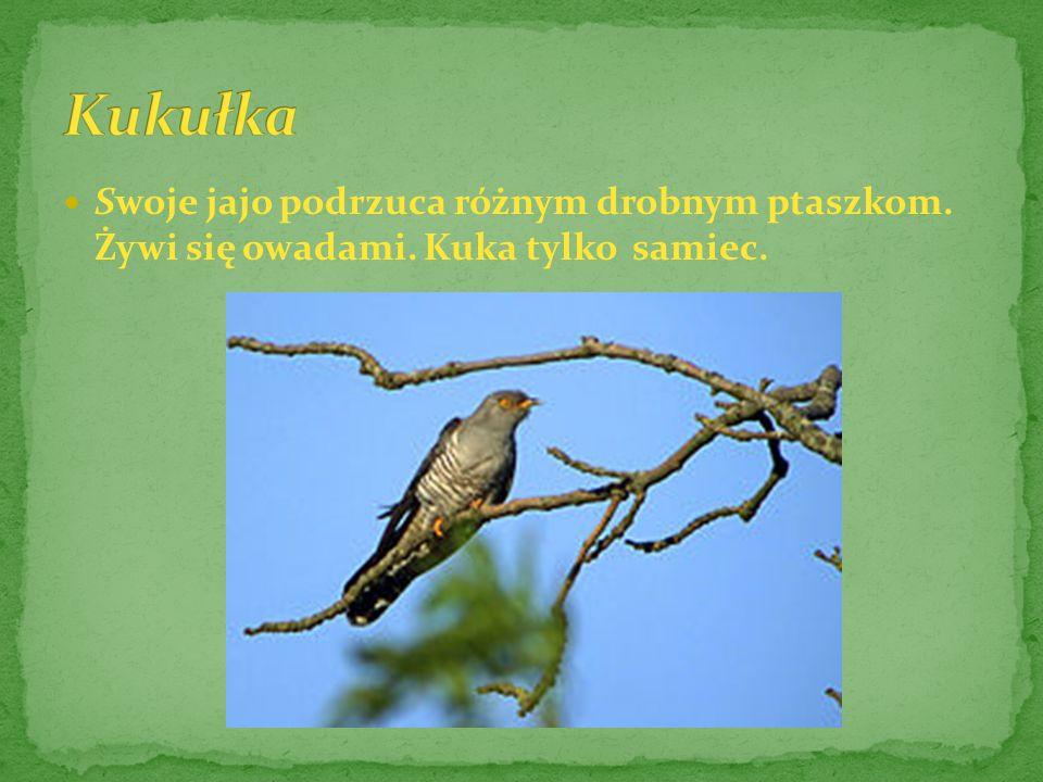 Żyje w lasach i parkach. Gniazdo ścieli w gęstwinie, wśród mchu, przy samej ziemi. Żywi się owadami.