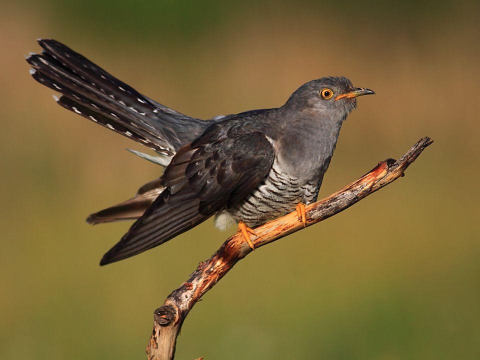 Swoje jajo podrzuca różnym drobnym ptaszkom. Żywi się owadami. Kuka tylko samiec.
