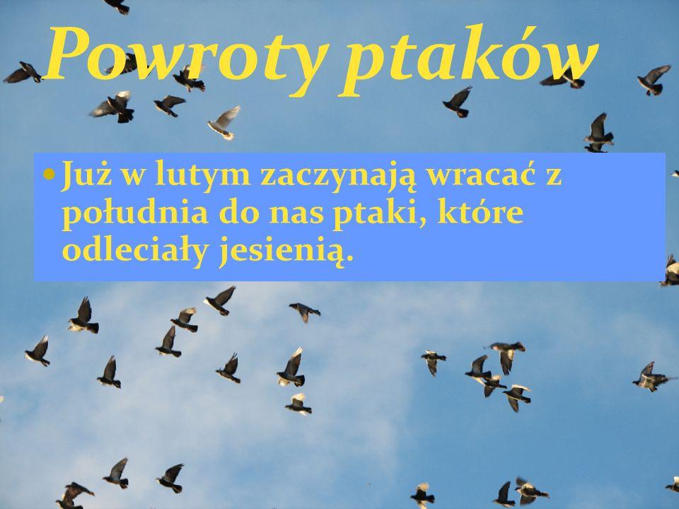 Już w lutym zaczynają wracać z południa do nas ptaki, które odleciały jesienią.