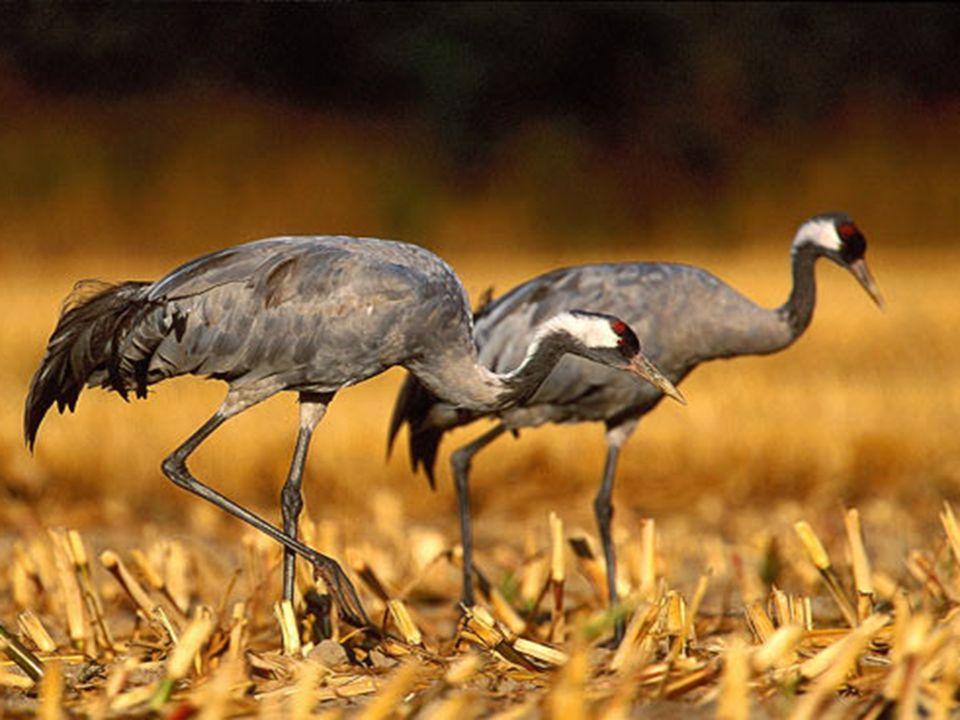 Żyje na śródleśnych bagnach, porośniętych olchami lub wierzbami, w pobliżu zbiorników wodnych. Żywi się nasionami, jagodami, pędami roślin, owadami.