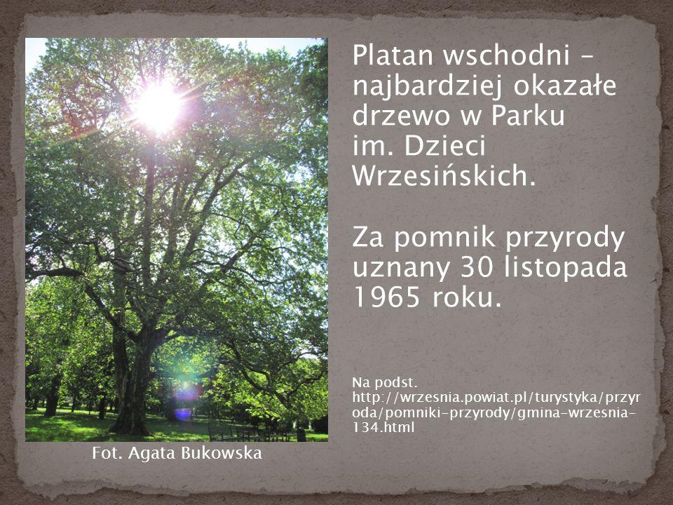 Platan wschodni – najbardziej okazałe drzewo w Parku im.