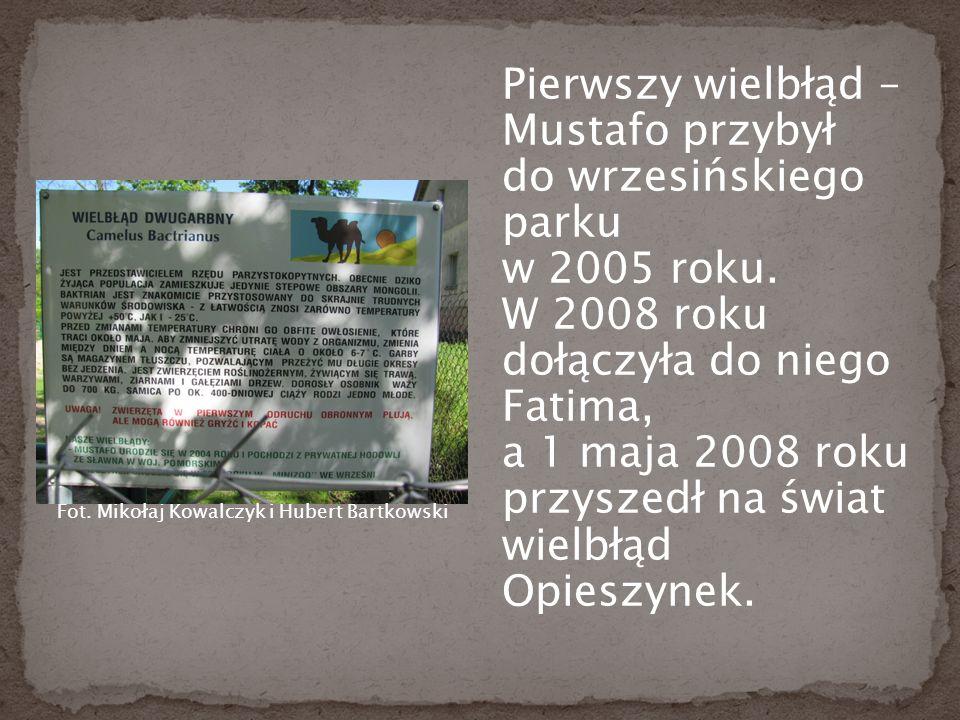 Pierwszy wielbłąd – Mustafo przybył do wrzesińskiego parku w 2005 roku.