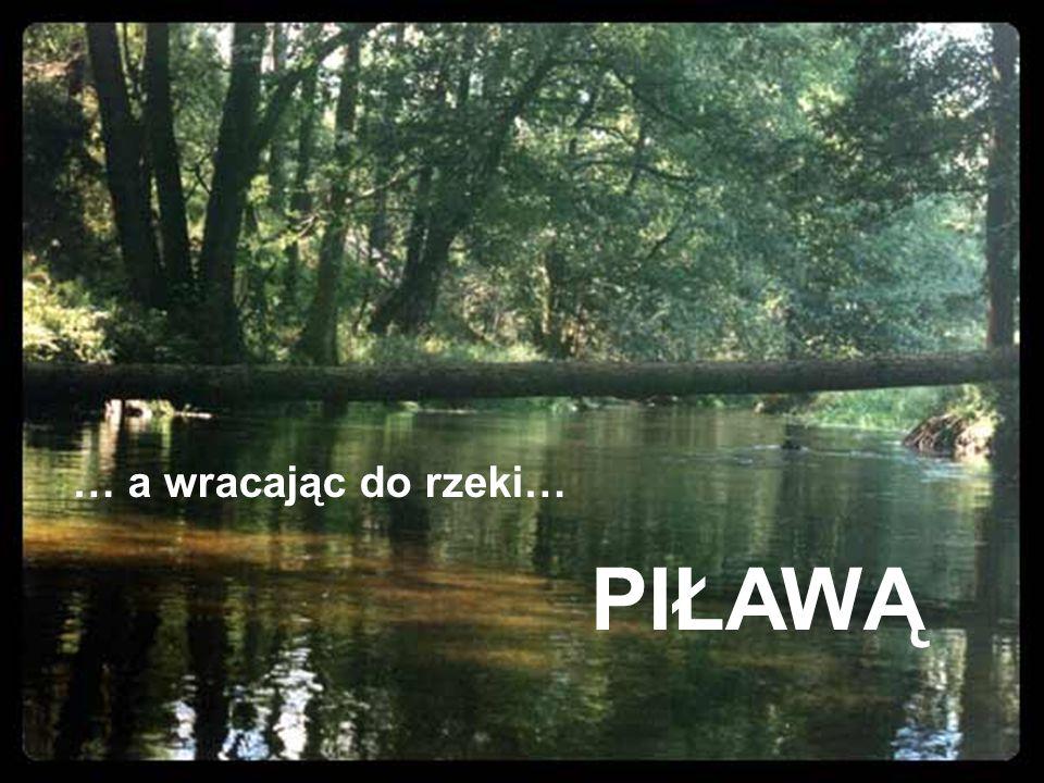 … a wracając do rzeki… PIŁAWĄ