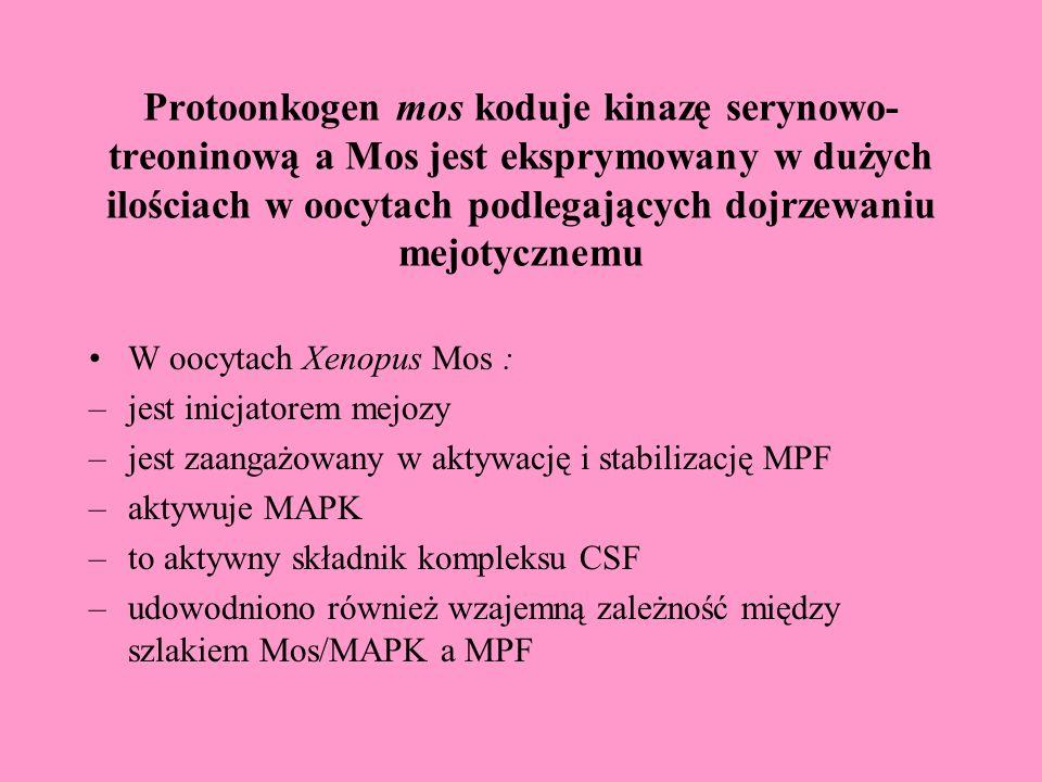 Protoonkogen mos koduje kinazę serynowo- treoninową a Mos jest eksprymowany w dużych ilościach w oocytach podlegających dojrzewaniu mejotycznemu W oocytach Xenopus Mos : –jest inicjatorem mejozy –jest zaangażowany w aktywację i stabilizację MPF –aktywuje MAPK –to aktywny składnik kompleksu CSF –udowodniono również wzajemną zależność między szlakiem Mos/MAPK a MPF