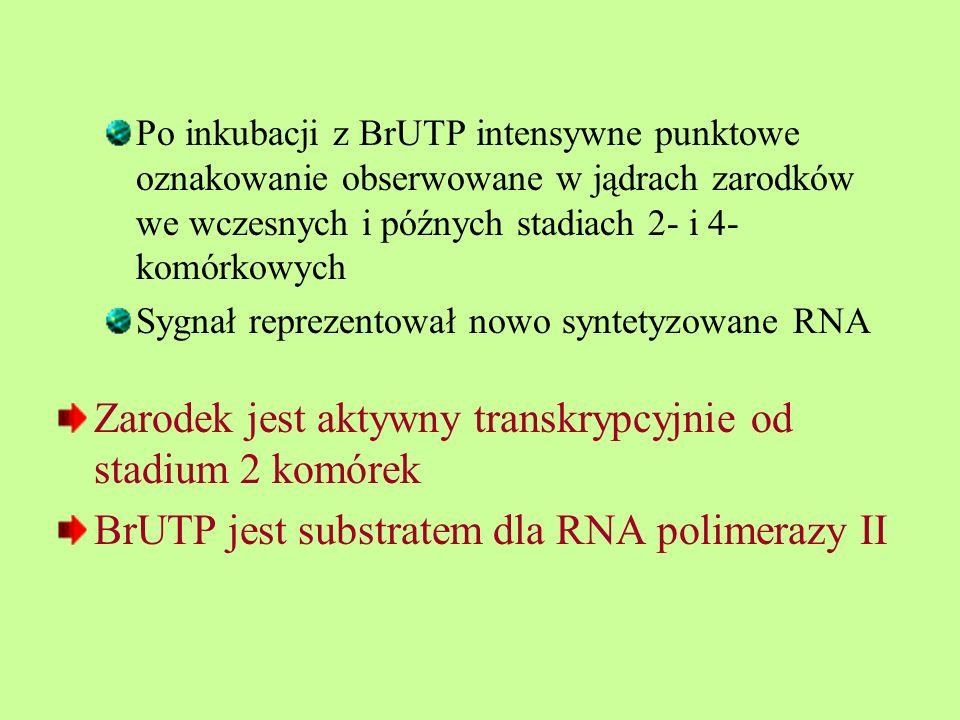 Po inkubacji z BrUTP intensywne punktowe oznakowanie obserwowane w jądrach zarodków we wczesnych i późnych stadiach 2- i 4- komórkowych Sygnał reprezentował nowo syntetyzowane RNA Zarodek jest aktywny transkrypcyjnie od stadium 2 komórek BrUTP jest substratem dla RNA polimerazy II
