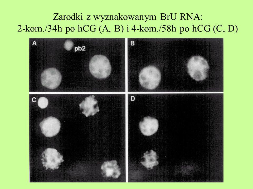 Zarodki z wyznakowanym BrU RNA: 2-kom./34h po hCG (A, B) i 4-kom./58h po hCG (C, D)