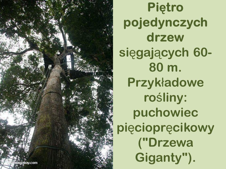 Pi ę tro pojedynczych drzew si ę gaj ą cych 60- 80 m. Przyk ł adowe ro ś liny: puchowiec pi ę ciopr ę cikowy (