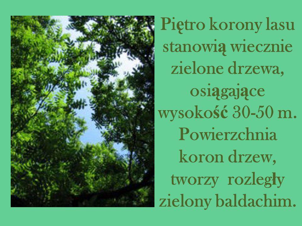 Pi ę tro korony lasu stanowi ą wiecznie zielone drzewa, osi ą gaj ą ce wysoko ść 30-50 m. Powierzchnia koron drzew, tworzy rozleg ł y zielony baldachi