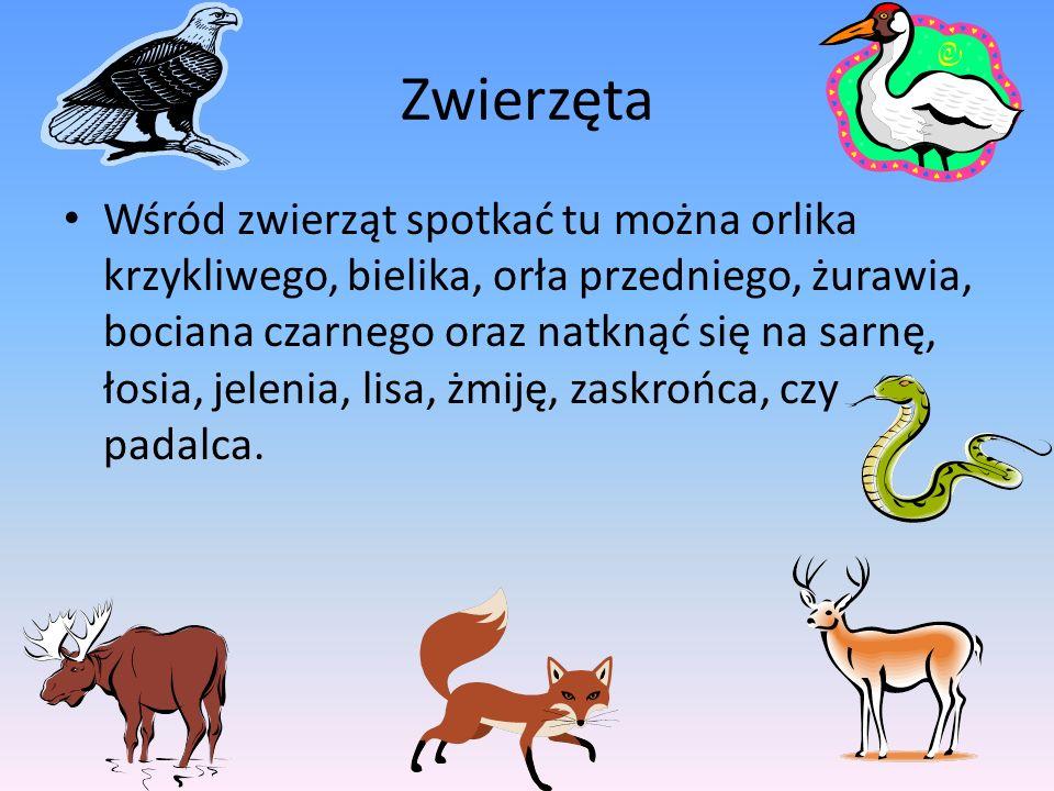 Zwierzęta Wśród zwierząt spotkać tu można orlika krzykliwego, bielika, orła przedniego, żurawia, bociana czarnego oraz natknąć się na sarnę, łosia, je