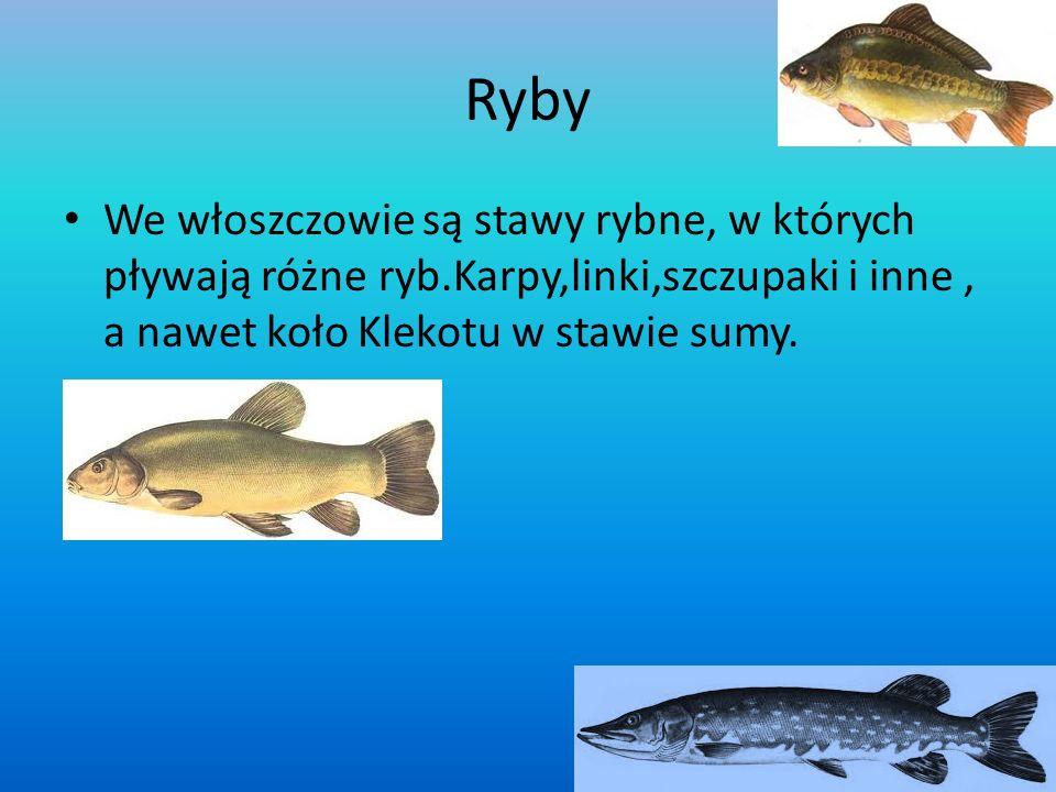 Ryby We włoszczowie są stawy rybne, w których pływają różne ryb.Karpy,linki,szczupaki i inne, a nawet koło Klekotu w stawie sumy.