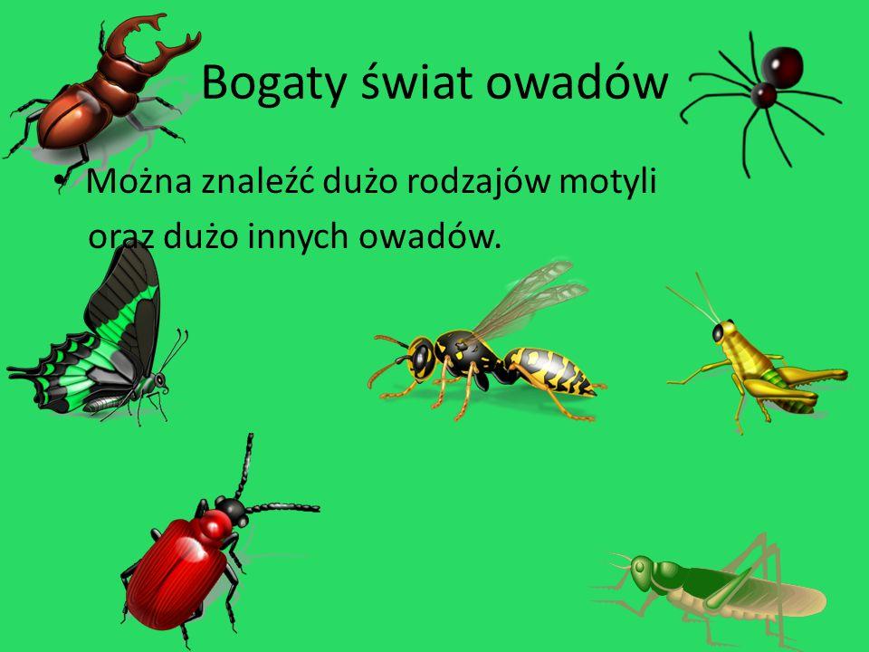 Bogaty świat owadów Można znaleźć dużo rodzajów motyli oraz dużo innych owadów.