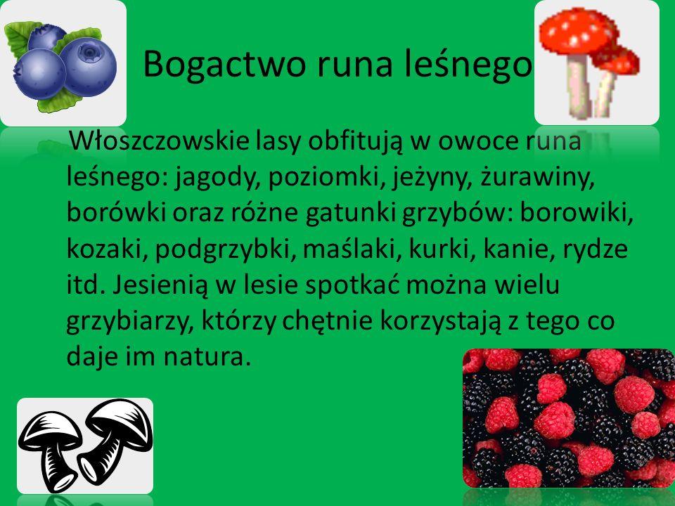 Włoszczowskie lasy obfitują w owoce runa leśnego: jagody, poziomki, jeżyny, żurawiny, borówki oraz różne gatunki grzybów: borowiki, kozaki, podgrzybki