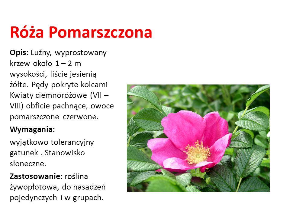 Róża Pomarszczona Opis: Luźny, wyprostowany krzew około 1 – 2 m wysokości, liście jesienią żółte. Pędy pokryte kolcami Kwiaty ciemnoróżowe (VII – VIII