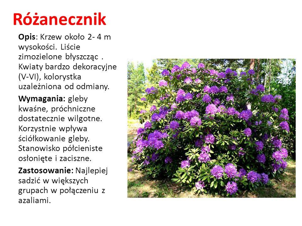 Różanecznik Opis: Krzew około 2- 4 m wysokości. Liście zimozielone błyszcząc. Kwiaty bardzo dekoracyjne (V-VI), kolorystka uzależniona od odmiany. Wym