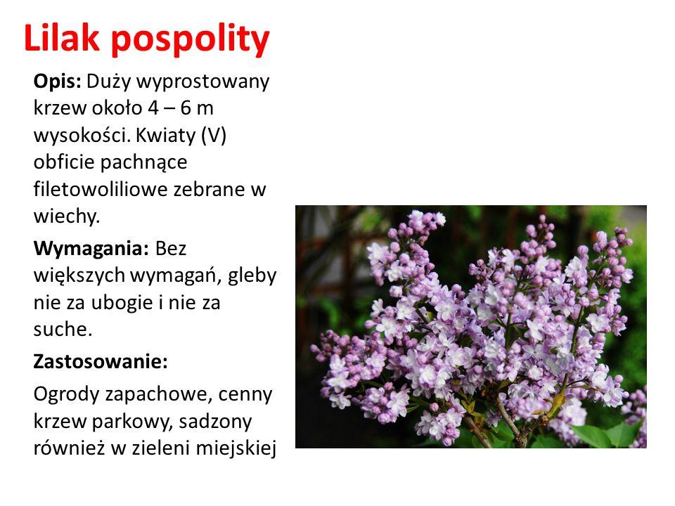 Lilak pospolity Opis: Duży wyprostowany krzew około 4 – 6 m wysokości. Kwiaty (V) obficie pachnące filetowoliliowe zebrane w wiechy. Wymagania: Bez wi