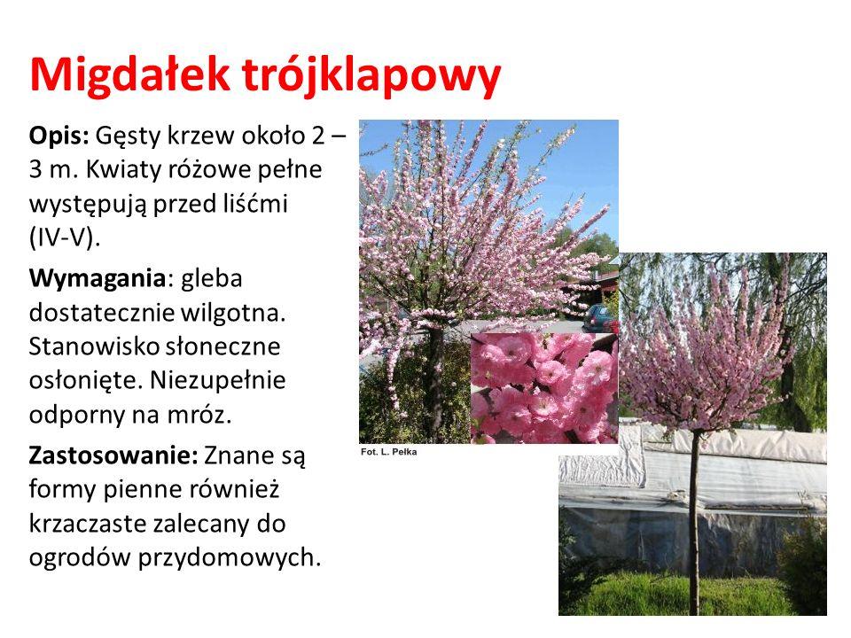Migdałek trójklapowy Opis: Gęsty krzew około 2 – 3 m. Kwiaty różowe pełne występują przed liśćmi (IV-V). Wymagania: gleba dostatecznie wilgotna. Stano