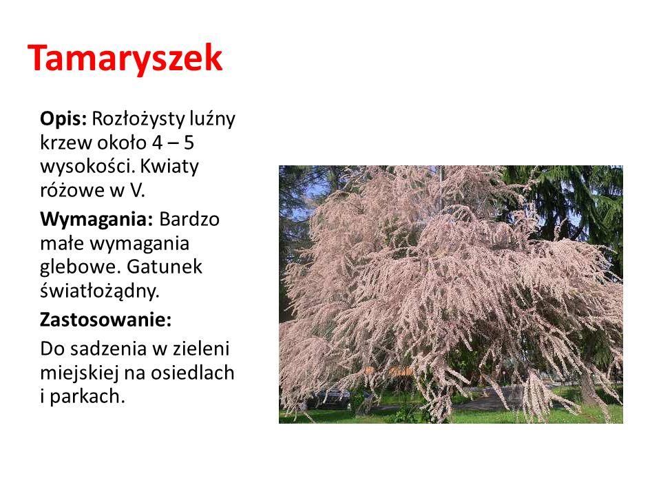 Tamaryszek Opis: Rozłożysty luźny krzew około 4 – 5 wysokości. Kwiaty różowe w V. Wymagania: Bardzo małe wymagania glebowe. Gatunek światłożądny. Zast
