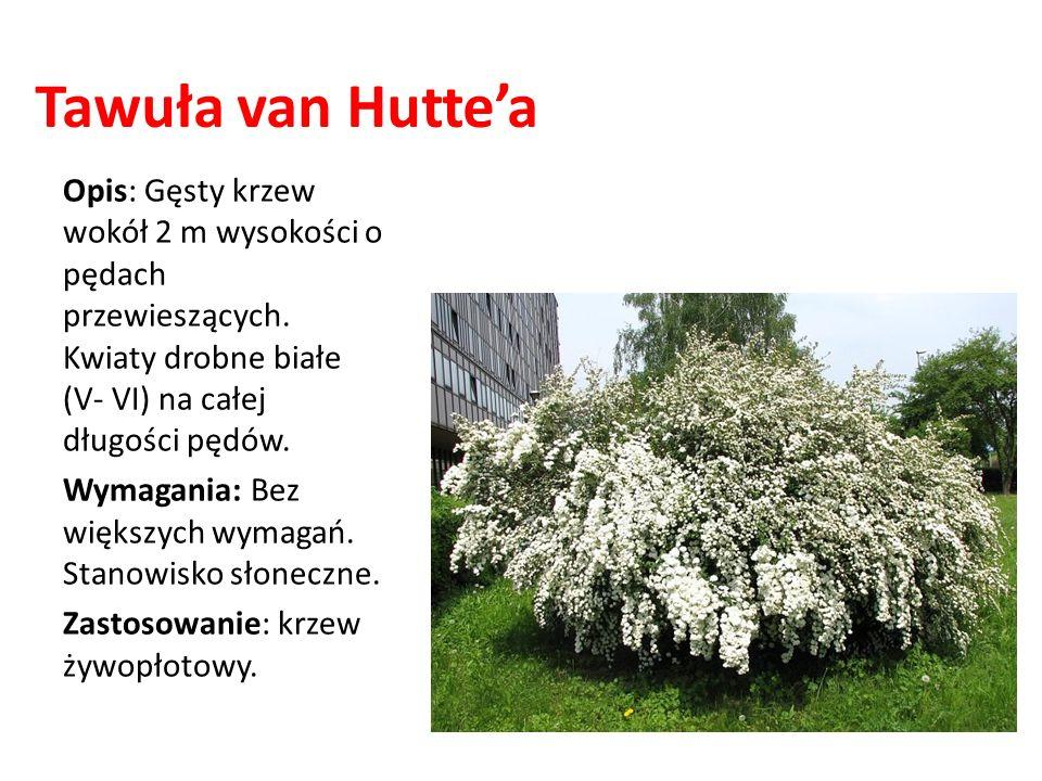 Tawuła van Huttea Opis: Gęsty krzew wokół 2 m wysokości o pędach przewieszących. Kwiaty drobne białe (V- VI) na całej długości pędów. Wymagania: Bez w