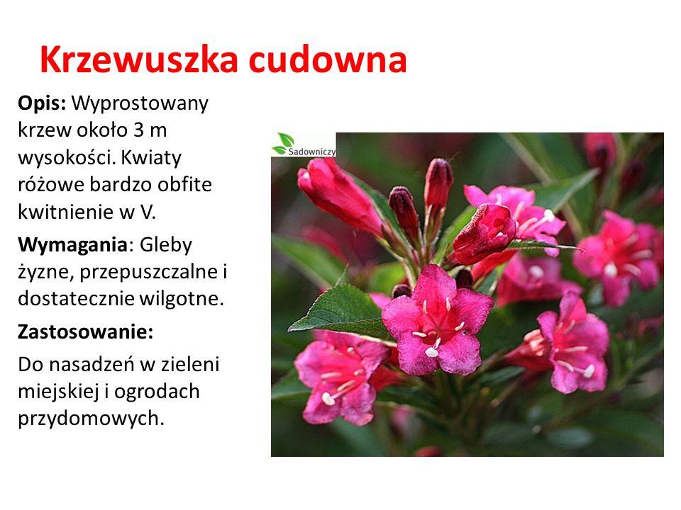 Krzewuszka cudowna Opis: Wyprostowany krzew około 3 m wysokości. Kwiaty różowe bardzo obfite kwitnienie w V. Wymagania: Gleby żyzne, przepuszczalne i