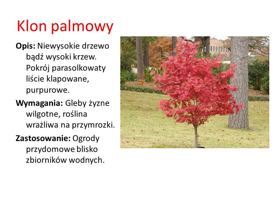 Klon palmowy Opis: Niewysokie drzewo bądź wysoki krzew. Pokrój parasolkowaty liście klapowane, purpurowe. Wymagania: Gleby żyzne wilgotne, roślina wra