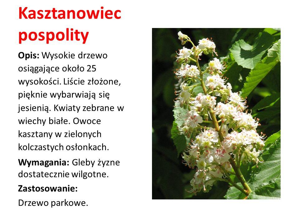 Kasztanowiec pospolity Opis: Wysokie drzewo osiągające około 25 wysokości. Liście złożone, pięknie wybarwiają się jesienią. Kwiaty zebrane w wiechy bi