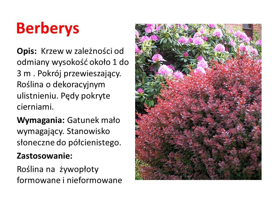 Berberys Opis: Krzew w zależności od odmiany wysokość około 1 do 3 m. Pokrój przewieszający. Roślina o dekoracyjnym ulistnieniu. Pędy pokryte cierniam