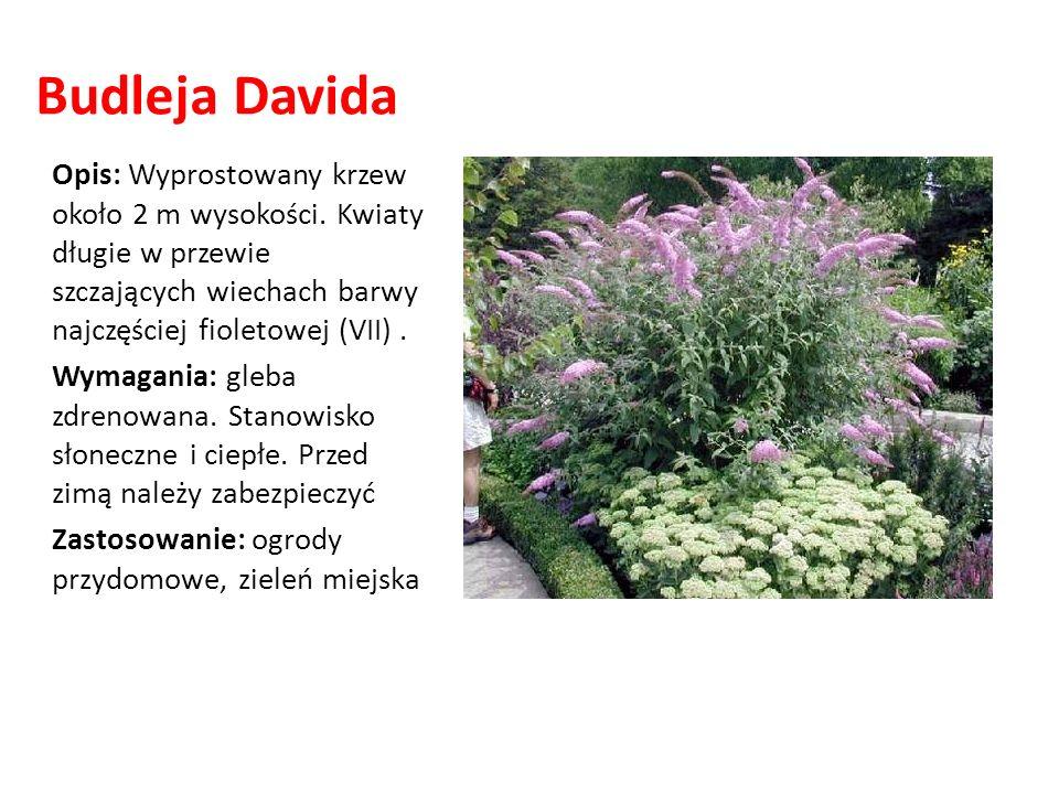 Budleja Davida Opis: Wyprostowany krzew około 2 m wysokości. Kwiaty długie w przewie szczających wiechach barwy najczęściej fioletowej (VII). Wymagani