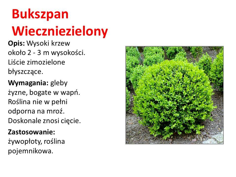Bukszpan Wieczniezielony Opis: Wysoki krzew około 2 - 3 m wysokości. Liście zimozielone błyszczące. Wymagania: gleby żyzne, bogate w wapń. Roślina nie