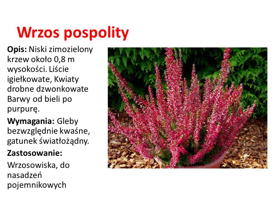 Wrzos pospolity Opis: Niski zimozielony krzew około 0,8 m wysokości. Liście igiełkowate, Kwiaty drobne dzwonkowate Barwy od bieli po purpurę. Wymagani