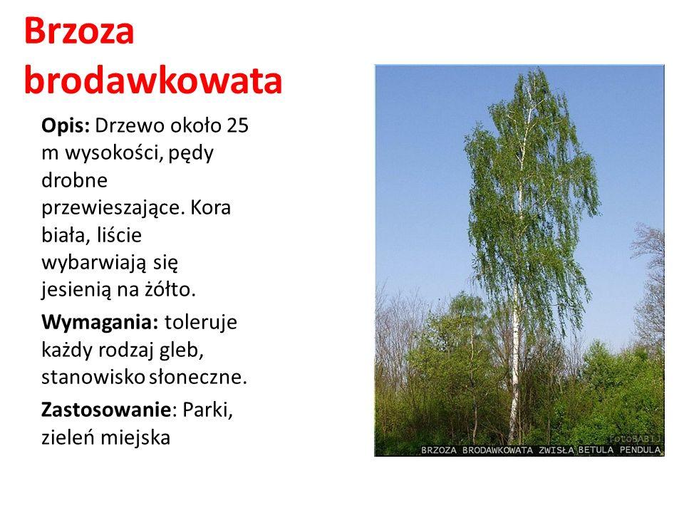 Brzoza brodawkowata Opis: Drzewo około 25 m wysokości, pędy drobne przewieszające. Kora biała, liście wybarwiają się jesienią na żółto. Wymagania: tol