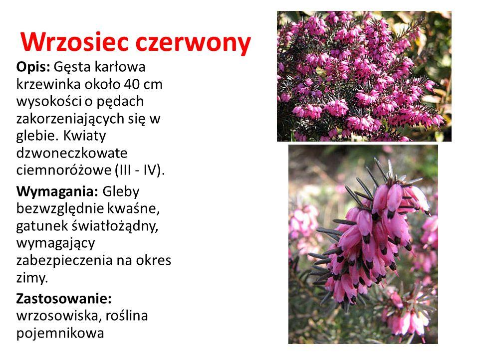 Wrzosiec czerwony Opis: Gęsta karłowa krzewinka około 40 cm wysokości o pędach zakorzeniających się w glebie. Kwiaty dzwoneczkowate ciemnoróżowe (III