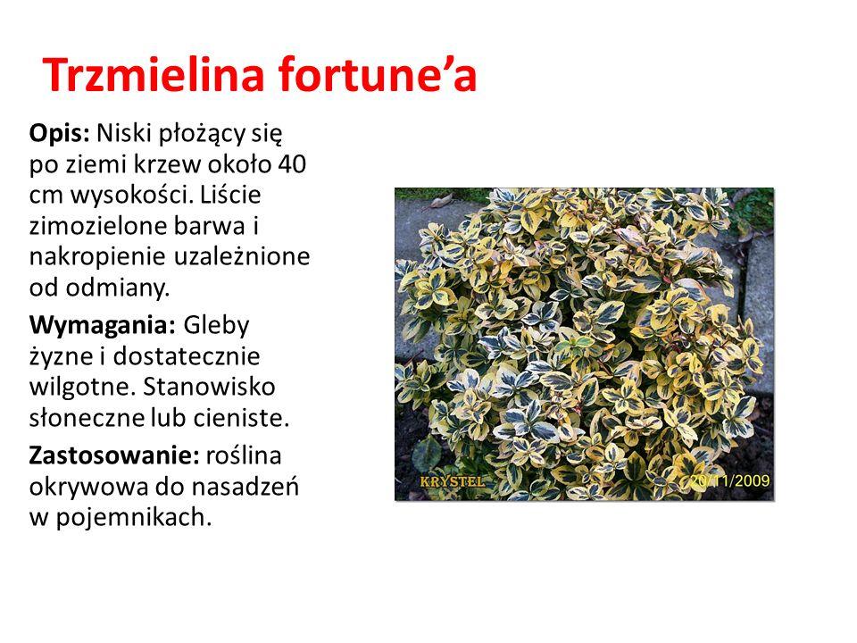 Trzmielina fortunea Opis: Niski płożący się po ziemi krzew około 40 cm wysokości. Liście zimozielone barwa i nakropienie uzależnione od odmiany. Wymag