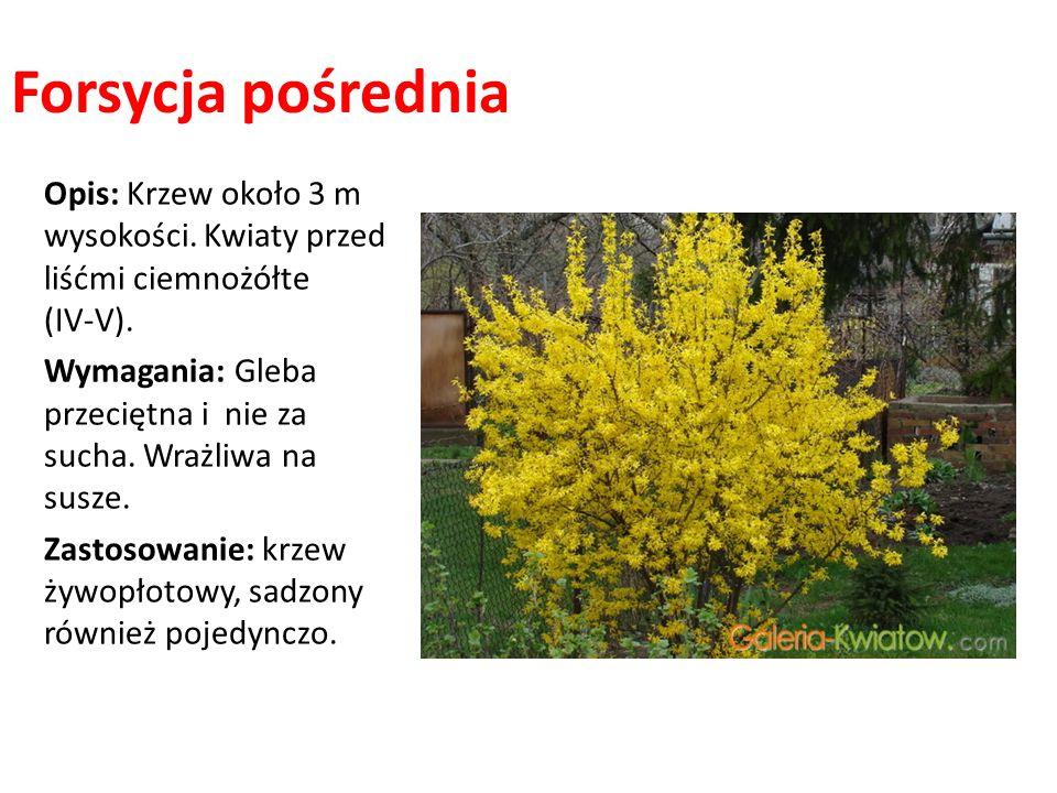 Forsycja pośrednia Opis: Krzew około 3 m wysokości. Kwiaty przed liśćmi ciemnożółte (IV-V). Wymagania: Gleba przeciętna i nie za sucha. Wrażliwa na su