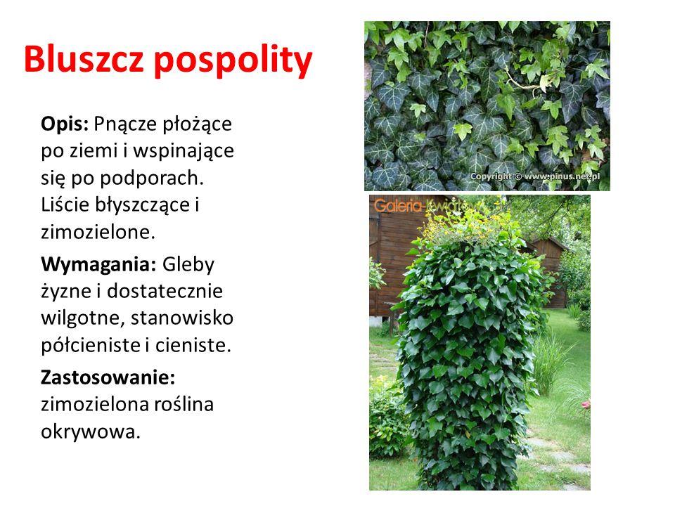 Bluszcz pospolity Opis: Pnącze płożące po ziemi i wspinające się po podporach. Liście błyszczące i zimozielone. Wymagania: Gleby żyzne i dostatecznie