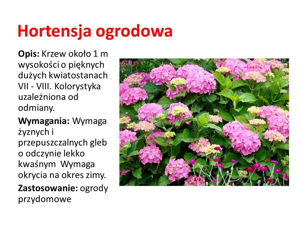 Hortensja ogrodowa Opis: Krzew około 1 m wysokości o pięknych dużych kwiatostanach VII - VIII. Kolorystyka uzależniona od odmiany. Wymagania: Wymaga ż
