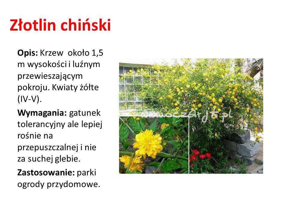 Złotlin chiński Opis: Krzew około 1,5 m wysokości i luźnym przewieszającym pokroju. Kwiaty żółte (IV-V). Wymagania: gatunek tolerancyjny ale lepiej ro