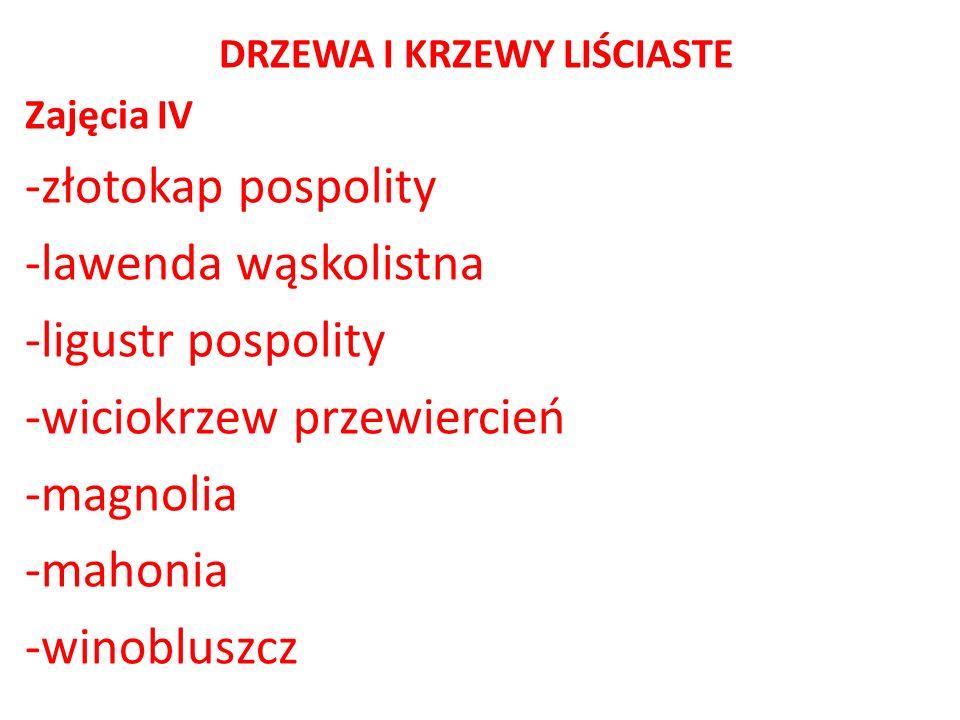DRZEWA I KRZEWY LIŚCIASTE Zajęcia IV -złotokap pospolity -lawenda wąskolistna -ligustr pospolity -wiciokrzew przewiercień -magnolia -mahonia -winoblus
