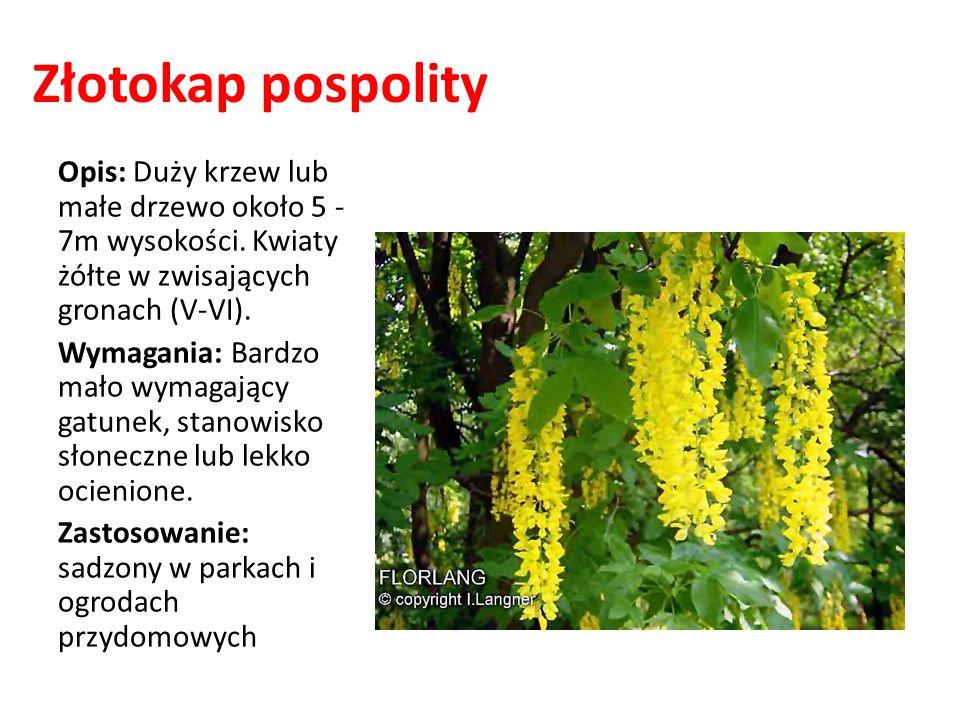 Złotokap pospolity Opis: Duży krzew lub małe drzewo około 5 - 7m wysokości. Kwiaty żółte w zwisających gronach (V-VI). Wymagania: Bardzo mało wymagają