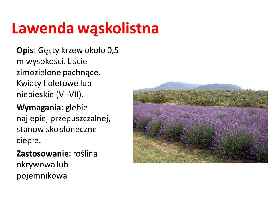 Lawenda wąskolistna Opis: Gęsty krzew około 0,5 m wysokości. Liście zimozielone pachnące. Kwiaty fioletowe lub niebieskie (VI-VII). Wymagania: glebie