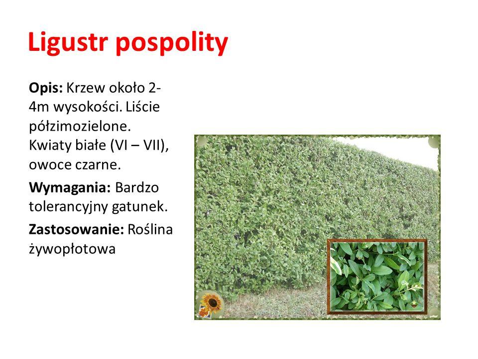 Ligustr pospolity Opis: Krzew około 2- 4m wysokości. Liście półzimozielone. Kwiaty białe (VI – VII), owoce czarne. Wymagania: Bardzo tolerancyjny gatu