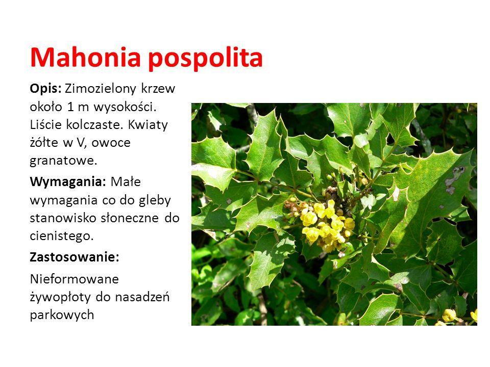Mahonia pospolita Opis: Zimozielony krzew około 1 m wysokości. Liście kolczaste. Kwiaty żółte w V, owoce granatowe. Wymagania: Małe wymagania co do gl