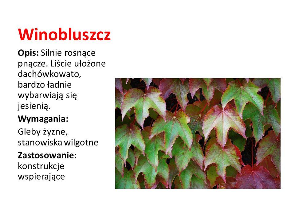 Winobluszcz Opis: Silnie rosnące pnącze. Liście ułożone dachówkowato, bardzo ładnie wybarwiają się jesienią. Wymagania: Gleby żyzne, stanowiska wilgot