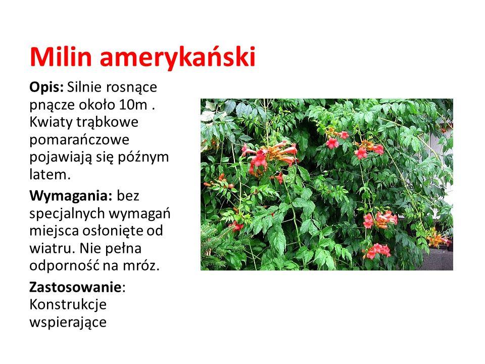 Milin amerykański Opis: Silnie rosnące pnącze około 10m. Kwiaty trąbkowe pomarańczowe pojawiają się późnym latem. Wymagania: bez specjalnych wymagań m