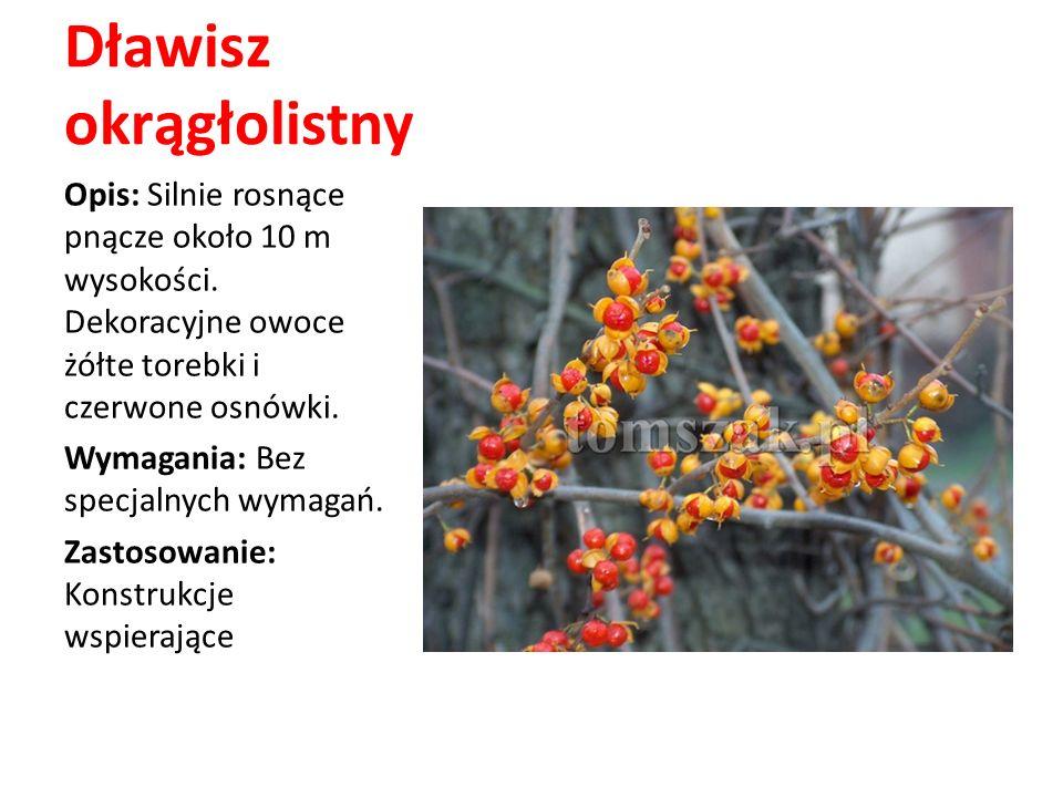 Dławisz okrągłolistny Opis: Silnie rosnące pnącze około 10 m wysokości. Dekoracyjne owoce żółte torebki i czerwone osnówki. Wymagania: Bez specjalnych